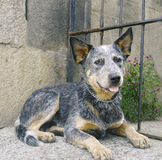 Blue heeler. Pure breed blue heeler laying down royalty free stock images