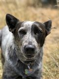 Blue heeler Australian cattle dog. Blue heeler puppy dog panting with tongue out Royalty Free Stock Photography