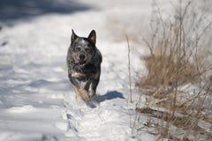 Blue heeler australian cattle dog in deep snow. Royalty Free Stock Images