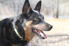 Blue Heeler Australian Cattle Dog face with collar Stock Photography