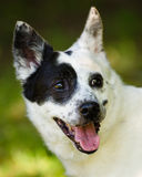 Blue heeler or Australian cattle dog royalty free stock photography