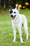 Blue heeler or Australian cattle dog Stock Photography