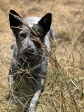 Blue heeler Australian cattle dog. Blue heeler puppy dog panting with tongue out Stock Images