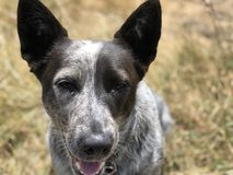 Blue heeler Australian cattle dog. Blue heeler puppy dog panting with tongue out stock image