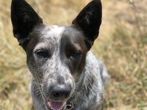 Blue heeler Australian cattle dog. Blue heeler puppy dog panting with tongue out Stock Image