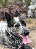 Blue heeler Australian cattle dog. Blue heeler puppy dog panting with tongue out Royalty Free Stock Photo