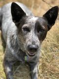 Blue heeler Australian cattle dog. Blue heeler puppy dog panting with tongue out stock photos