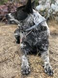 Blue heeler Australian cattle dog. Blue heeler puppy dog panting with tongue out Royalty Free Stock Photos