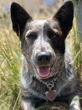 Puppy in the grass. A blue heeler Australian cattle dog sitting in the Stock Image