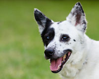 Blue heeler or Australian cattle dog with space for copy stock image
