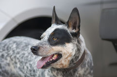 Blue heeler with black spot. Light colored blue heeler canine with ears up indicating it is on alert royalty free stock image