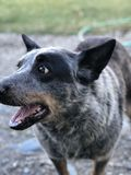Cattle dog. A blue heeler cattle dog with its tongue out stock photography