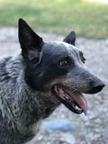 Cattle dog. A blue heeler cattle dog with its tongue out royalty free stock images