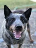 Cattle dog. A blue heeler cattle dog with its tongue out stock images
