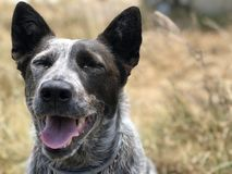 Cattle dog. A blue heeler cattle dog with its tongue out royalty free stock image