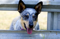 Blue Heeler at the Corral Gate Royalty Free Stock Images