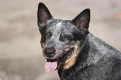 Blue heeler 01. Dark grey blue heeler canine with honey colored eyes and tongue sticking out royalty free stock photos