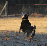 Blue heeler dog in action Royalty Free Stock Photography