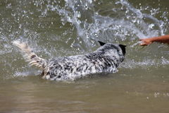 Blue Heeler Dog. The Australian Cattle Dog, or simply Cattle Dog, is a breed of herding dog originally developed in Australia for droving cattle over long royalty free stock photo