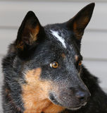 Blue Heeler Dog head in profile Stock Image