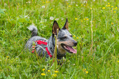 Blue Heeler. Dog playing in a mountain meadow royalty free stock photos