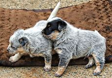 Blue Heeler Dogs. The Australian Cattle Dog, or simply Cattle Dog, is a breed of herding dog originally developed in Australia for droving cattle over long stock image