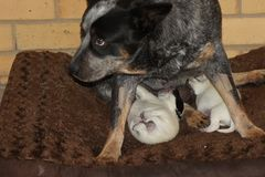 Blue Heeler Feeding Puppies stock photography