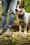 Blue heeler with his master Stock Images