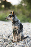 Blue Heeler pup Royalty Free Stock Images