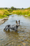 Blue Heeler pup. On a rivers edge in summertime Royalty Free Stock Photo