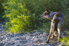 Blue Heeler pup. On a rivers edge in summertime Stock Images