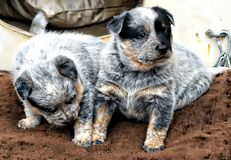 Blue Heeler Puppies. The Australian Cattle Dog, or simply Cattle Dog, is a breed of herding dog originally developed in Australia for droving cattle over long Royalty Free Stock Photography