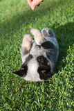 Blue Heeler puppy Royalty Free Stock Photos