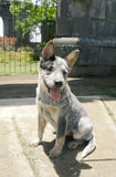Blue heeler puppy Royalty Free Stock Image