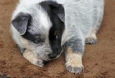 Blue Heeler Puppy. A beautiful little blue heeler puppy stock photo