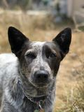 Blue heeler Australian cattle dog. Blue heeler puppy dog panting with tongue out Stock Photography