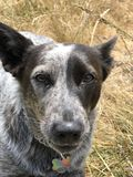 Blue heeler Australian cattle dog. Blue heeler puppy dog panting with tongue out Royalty Free Stock Images