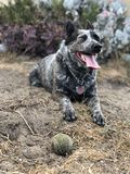 Blue heeler Australian cattle dog. Blue heeler puppy dog panting with tongue out stock photo