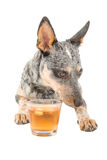 Blue Heeler. Puppy enjoying a glass of schotch whiskey isolated on white royalty free stock images