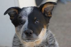 Blue Heeler Puppy Face Royalty Free Stock Photography