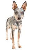 Blue Heeler Stock Image