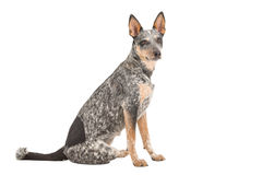 Blue Heeler. Puppy isolated on white stock image