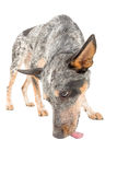 Blue Heeler. Puppy licking ground isolated on white stock photos