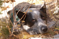 Blue Heeler relaxing Royalty Free Stock Images