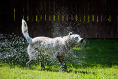 Blue Heeler Shaking Off Water. Blue Heeler / Border Collie Mix Shaking Water off in Backyard, Green grass, Humorous photo royalty free stock photos