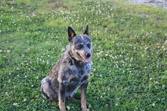 Blue Heeler sitting. Blue Heeler cattle dog taking a break royalty free stock images