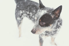 Blue Heeler in the Snow royalty free stock images