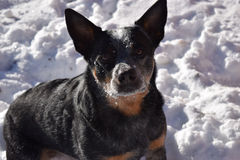 Blue Heeler in Snow Royalty Free Stock Images
