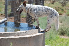 Blue Heeler on Stock Tank Royalty Free Stock Images