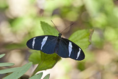 Blue Heliconius butterfly Stock Images